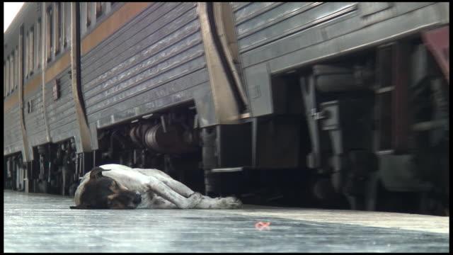 HD: Extreme Heat: Wild Stray Dog's Eyes Open Near Train