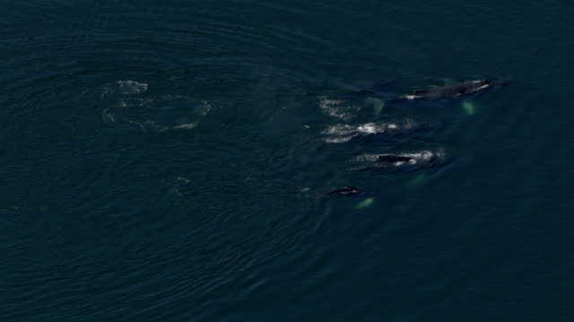 'Extreme Long Shot aerial-Whales breach the surface of the ocean and spout water from their blowholes. / Alaska, USA'