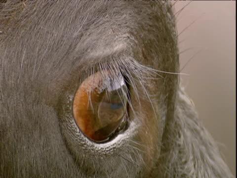 Eye and horn of water buffalo