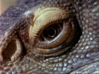 ECU Eye of African Savannah Monitor Lizard, Kenya