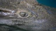 eye of crocodile ,albino