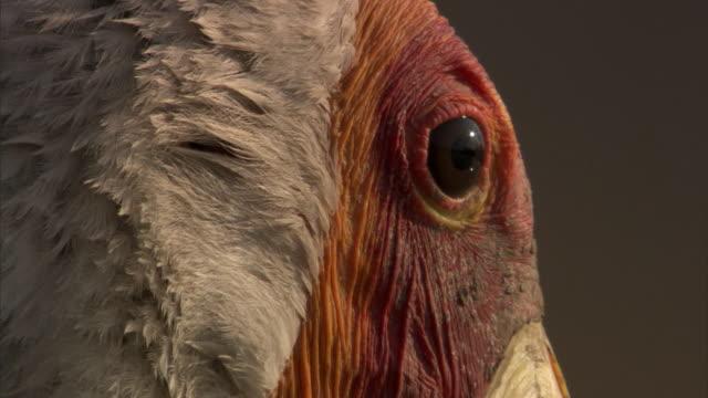 Eye of yellow billed stork (Mycteria ibis), Luangwa, Zambia