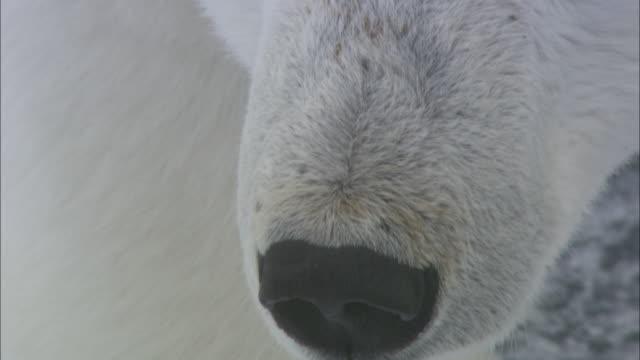 Eyes and nose of polar bear as it looks around, Svalbard, Arctic Norway *PLEASE DO NOT ALTER SHOT DESC*