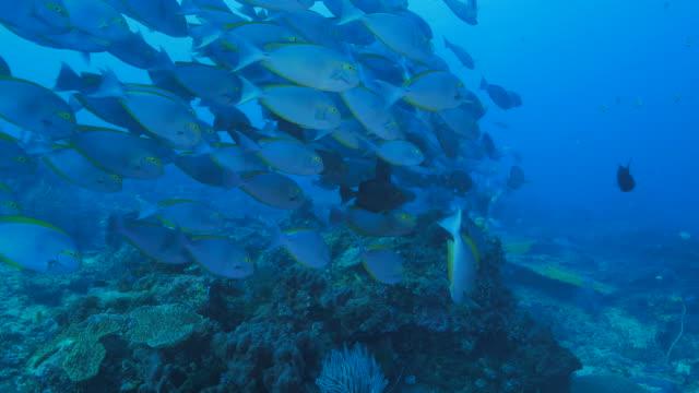 Eyestripe surgeonfish schooling, coral reef, Indian Ocean