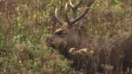 Ezo deer in Hokkaido
