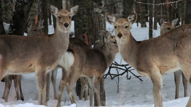 MS Ezo sika deers in snow / Kushiro, Japan