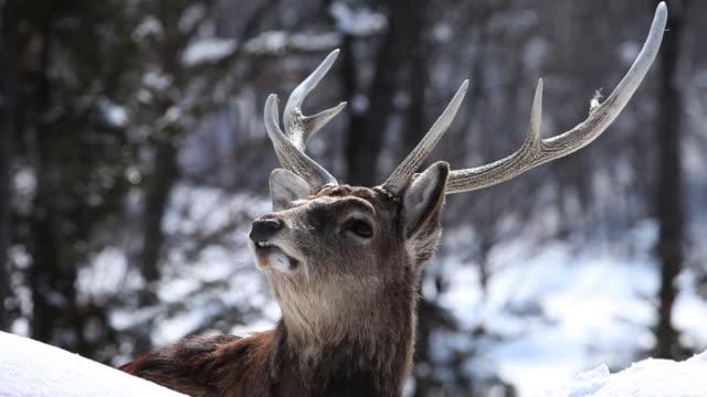 MS Ezo sika male deer at snow / Kushiro, Japan