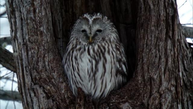 ezofukurou  owl  strix uralensis pallas  nest  winter landscape