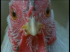 Face and beady eyes of chicken, UK