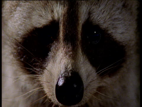 Face and eyes of Raccoon, Illinois