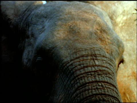Face of elephant, Botswana