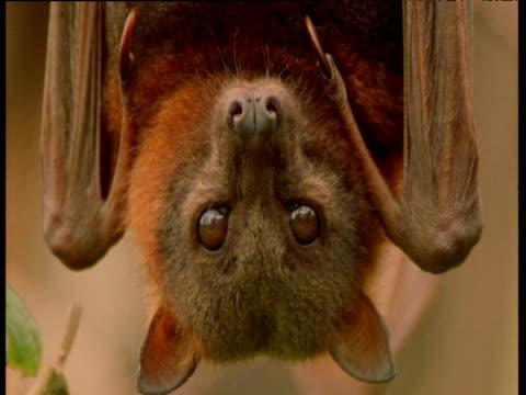 Face of grey headed flying fox as it hangs upside down, Australia