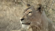 Face of resting juvenile lion.