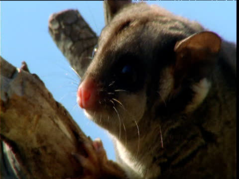 Face of sugar glider as it looks around, Victoria, Australia