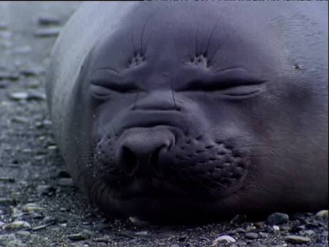 Face of Weddell seal asleep on beach, nostrils flaring as if snoring