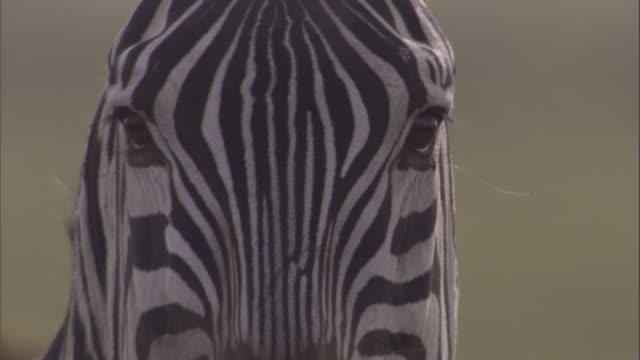 Face of zebra. Available in HD
