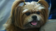 facial expression of dog , Shih Tzu
