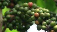 Fairtrade Kaffee Bohnen mit Kaffee-Plantage in Ecuador