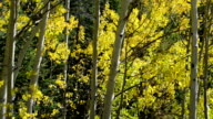Fall Aspen in Summit County, Colorado