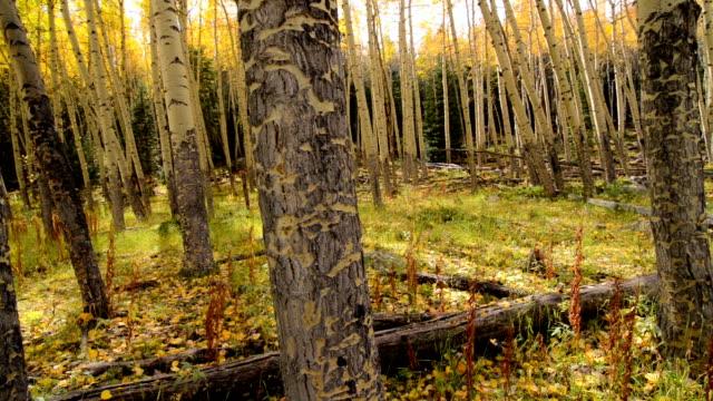 Fall Aspen Trees in Rocky Mountain National Park