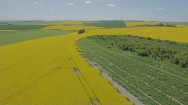 Fall in number of flying insects T16081635 / TX Oxfordshire **Drone footage** Field of oilseed rape rapeseed Various shots of combine harvester...