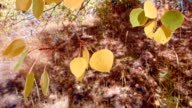 Fall leaves 2 Aspens Steens Mountain Near Malhuer Wildlife Refuge 5