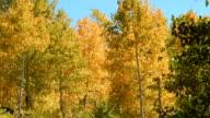 Fall leaves and trees Aspens Steens Mountain Near Malhuer Wildlife Refuge 7