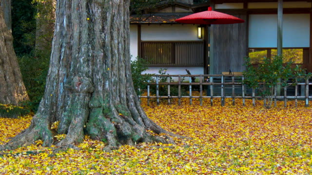 Fall the yellow leaf and red Japanese umbrella