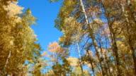 Fall trees Aspens Steens Mountain Near Malhuer Wildlife Refuge 2