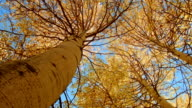 Fall underneath tree spin Aspens Steens Mountain Near Malhuer Wildlife Refuge 3