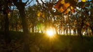 T/L Fall vineyard at sunrise