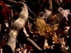 Fallen leaves decay on woodland floor in winter UK
