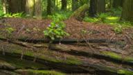 Fallen redwood in forest