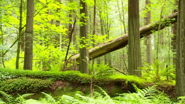 Fallen redwood tree in forest