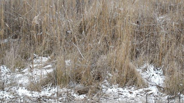 Vallende sneeuw op een achtergrond van droog gras op het veld.