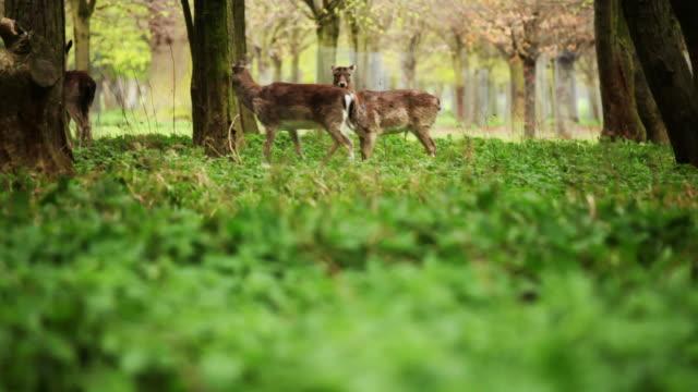 Fallow Deer in Woods