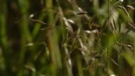 False oat grass flowers in a field. Available in HD.