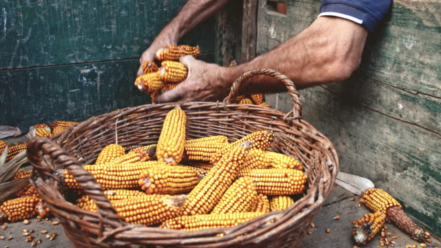 SLO MO Famers putting corn cobs in the basket