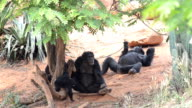 Family Chimpanzee