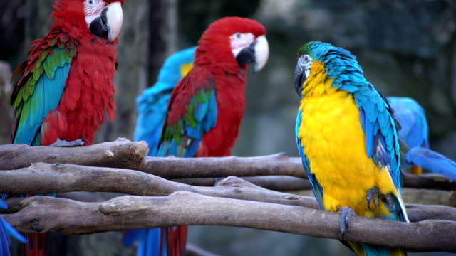 Family Macaws