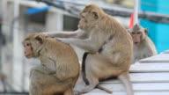 Family Monkeys