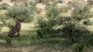 Family of cheetah relaxing amongst bushes in grassland, Kgalagadi Transfrontier Park, South Africa