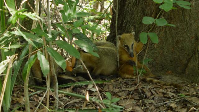 Family of coatis (Nasua nasua) rest at base of tree.