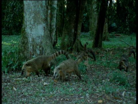 Family of coatis walks through forest, Brazil