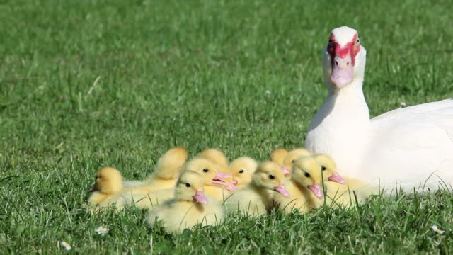 Family of ducklings sitting on grass with mother duck