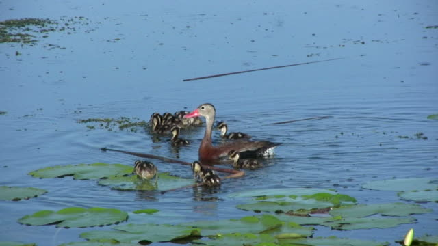 Family of Ducks in the Water