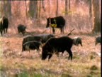 Family of feral pigs wander through Lakefield National Park, Queensland