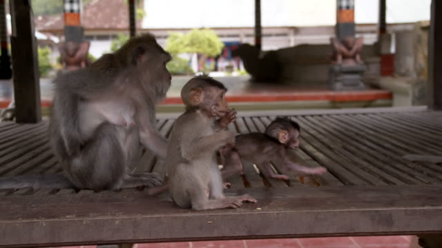 SLO MO famiglia di Macaco Scimmie