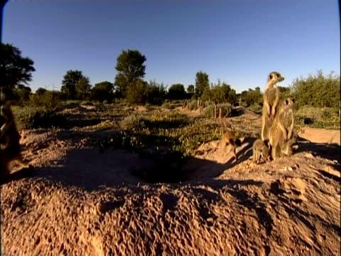 MS family of Meerkats, Suricata suricatta, looking around, Kuruman River Reserve, South Africa