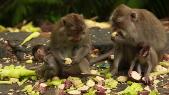 Family of monkeys eating together with little baby cubs in the Bali island.